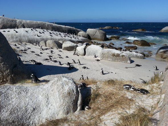pingouins_bouldersbeach