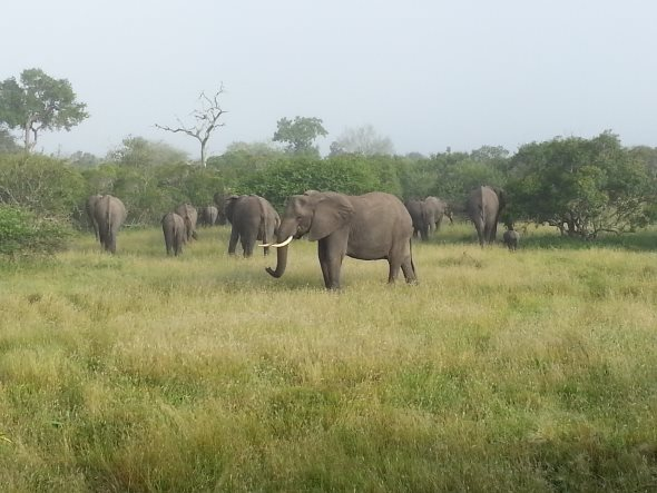 safari-elephants