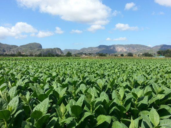 champs de tabac à vinales